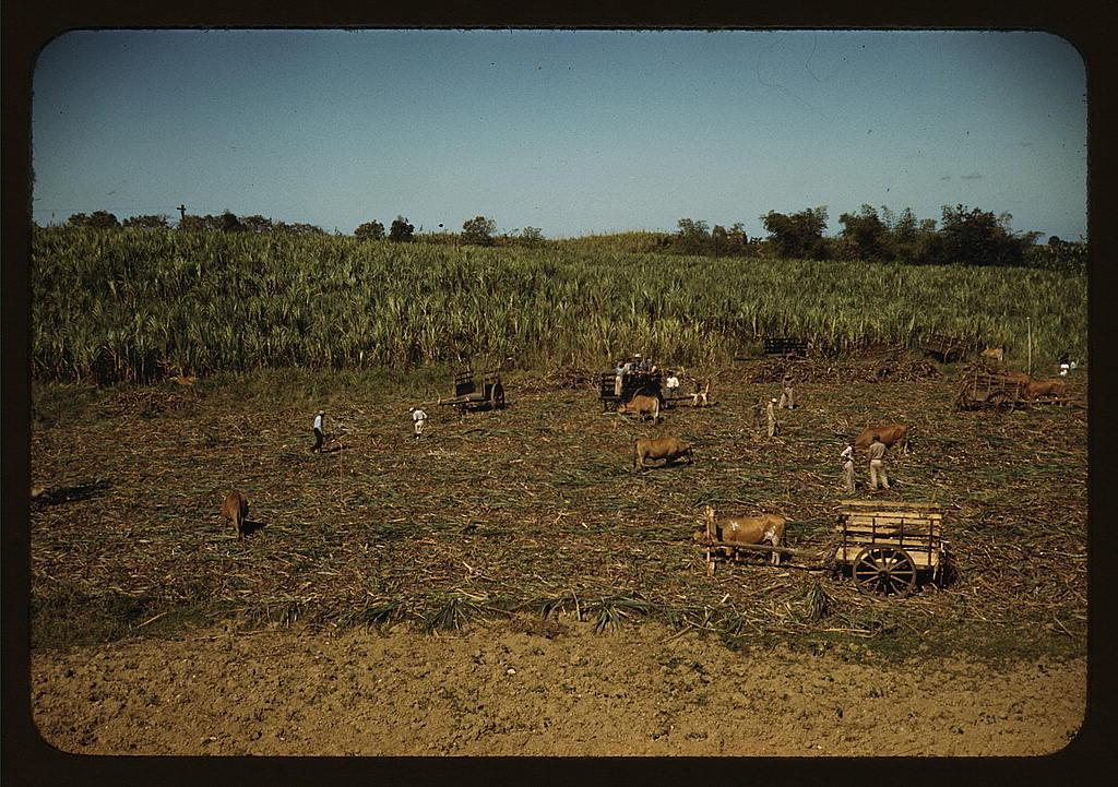 Harvesting sugar cane in a burned field, vicinity of Guanica, Puerto Rico. Burning the sugar cane gets rid of the dense leaves and makes cutting the unharmed stalks easier  (LOC)