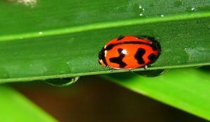 Wet ladybeetle