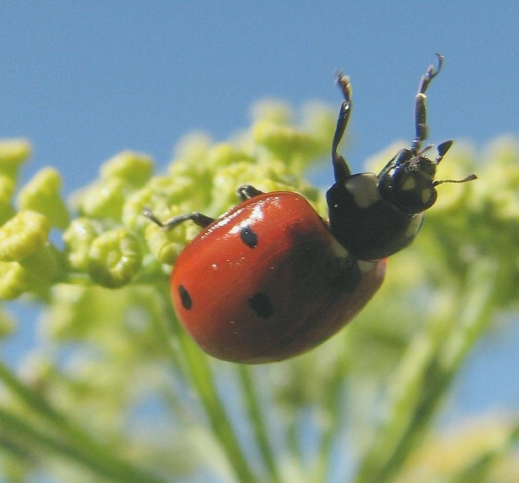 Ladybug base-jumper